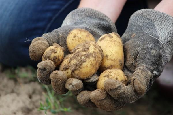 Kartoffel Erdäpfe