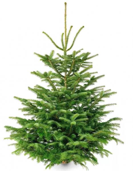 Weihnachtsbaum Christbaum Nordmanntanne